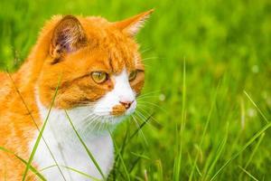 retrato de vista lateral de um gato laranja sentado na grama verde foto