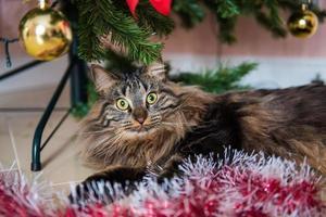 retrato de gato norueguês ao lado da árvore de natal