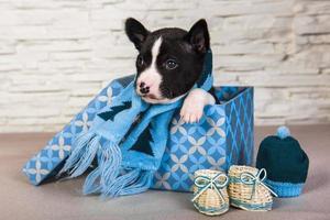 retrato de filhote de cachorro basenji em caixa de impressão com lenço de malha azul e botas de bebê