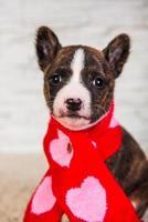 retrato de cachorro basenji olhando para a câmera em um lenço vermelho e rosa foto