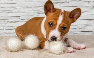 retrato de filhote de cachorro basenji mastigando uma bola branca