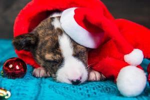 retrato de filhote de cachorro basenji com chapéu de Papai Noel com enfeites vermelhos foto