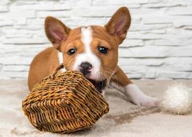 retrato de cachorro basenji mastigando uma cesta de vime e bolas de algodão branco