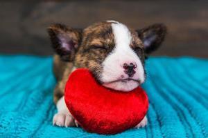 retrato de filhote de cachorro basenji dormindo na almofada de coração vermelho