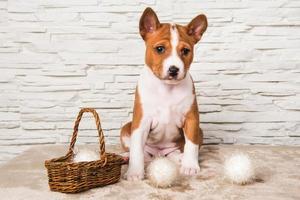 retrato de cachorro basenji com cesta e bolas de algodão brancas