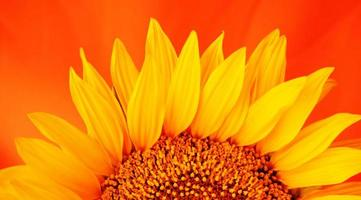 close-up de girassol em fundo laranja foto