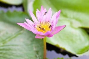 flor de lótus e abelhas