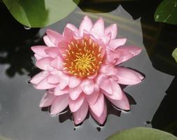 flor de nenúfar rosa foto