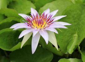 flor de nenúfar aberta