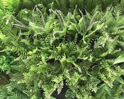 folhas verdes de samambaia em jardim vertical