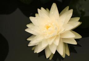 flor de nenúfar branca foto