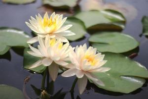 três flores de lótus
