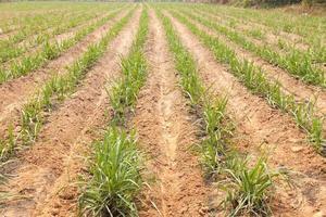 terra agrícola para cultivo de cana foto