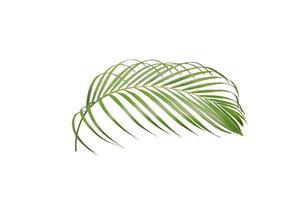 folha de palmeira exuberante