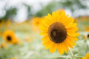 close-up de um girassol florescendo em um campo com fundo borrado da natureza foto