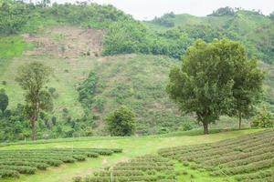 árvores em uma fazenda de chá foto