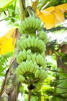 bananeiras e bananeiras