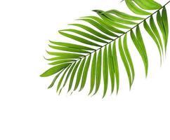 folha de coco verde com espaço de cópia
