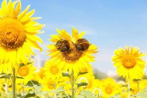 girassol com óculos de sol foto