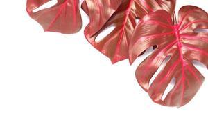 folhas vermelhas de monstera foto