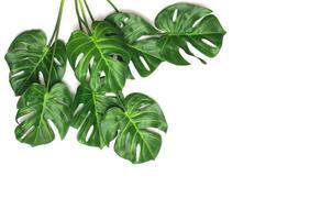 folhas de palmeira monstera em branco foto
