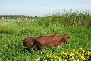 vacas pastando na tailândia