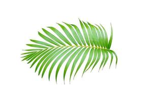 folhagem de palmeira tropical verde