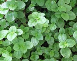 folhas verdes de hortelã foto