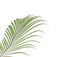 folha de palmeira verde exuberante em branco