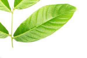 detalhe de folha verde
