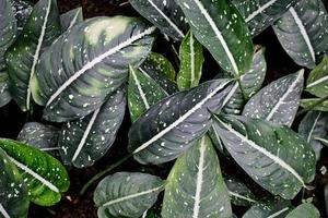 folhas da planta calathea