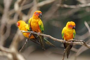 três papagaios conure sol