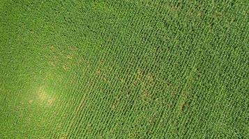 vista superior de um campo de milho