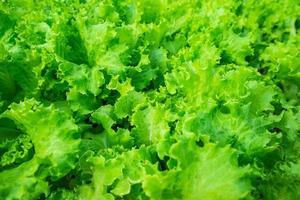 alface verde orgânica foto