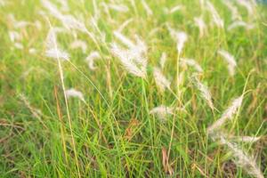 grama branca natural