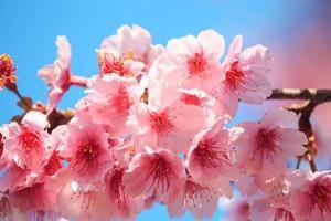 flor de cerejeira rosa com céu azul