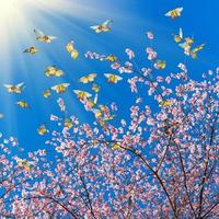 flores de cerejeira rosa com borboletas no céu