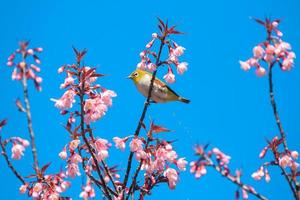 pássaro nas cerejeiras foto