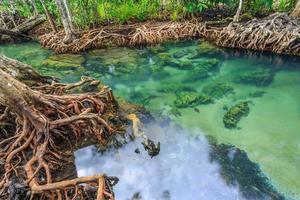 árvores de mangue em uma floresta de pântano de turfa na área do canal tha pom, província de Krabi, Tailândia. perfil de cor srgb foto