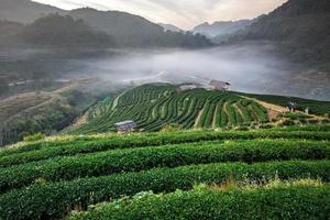 névoa matinal no terraço do chá no doi angkhang em chiangmai, Tailândia