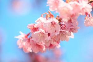 flor de cerejeira rosa com céu azul foto