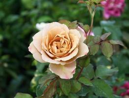 linda rosa em um jardim