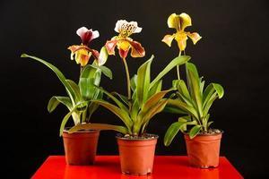 três orquídeas em vasos