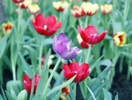 tulipas coloridas lá fora