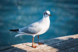 gaivota de cabeça preta em sua plumagem de inverno