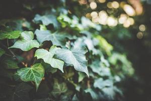 folhas de hera na luz da tarde foto