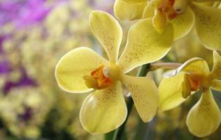 flores de orquídea amarela