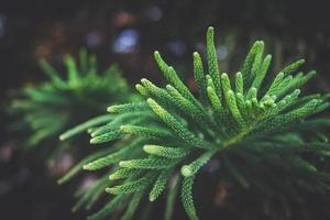 folhas agudas do pinheiro da ilha norfolk foto