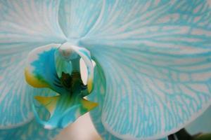 close-up de uma orquídea azul
