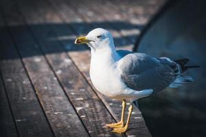 gaivota de patas amarelas em uma passarela de madeira